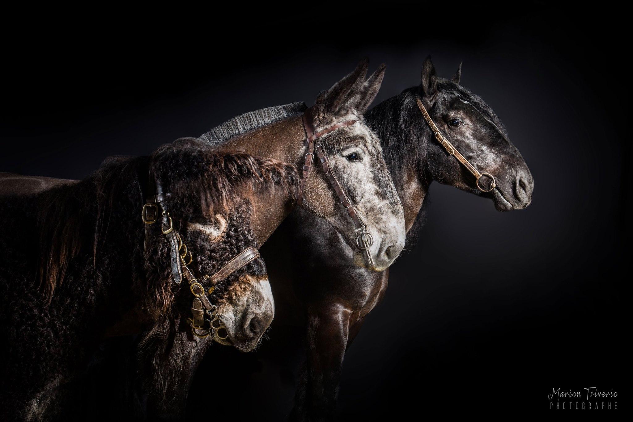Championnat national des races mulassières du Poitou